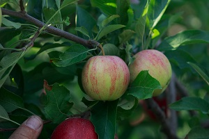 A Red Gala apple reverting back to its original less red origin. This is not a disease, but a genetic reversion affecting usually just that limb.