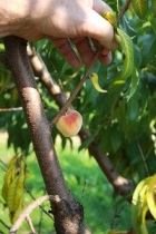 "A ""mummy"" fruit caused by failure of the peach to be properly pollinated.  These fruits will never develop properly and should be removed if possible as they often brown rot."
