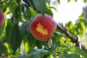 Bird damage of a peach.  Birds are attracted for both the sweet food value of the fruit and during drought for the moisture when there are no other sources of water easily available.